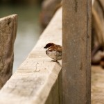 sparrow at the harbour