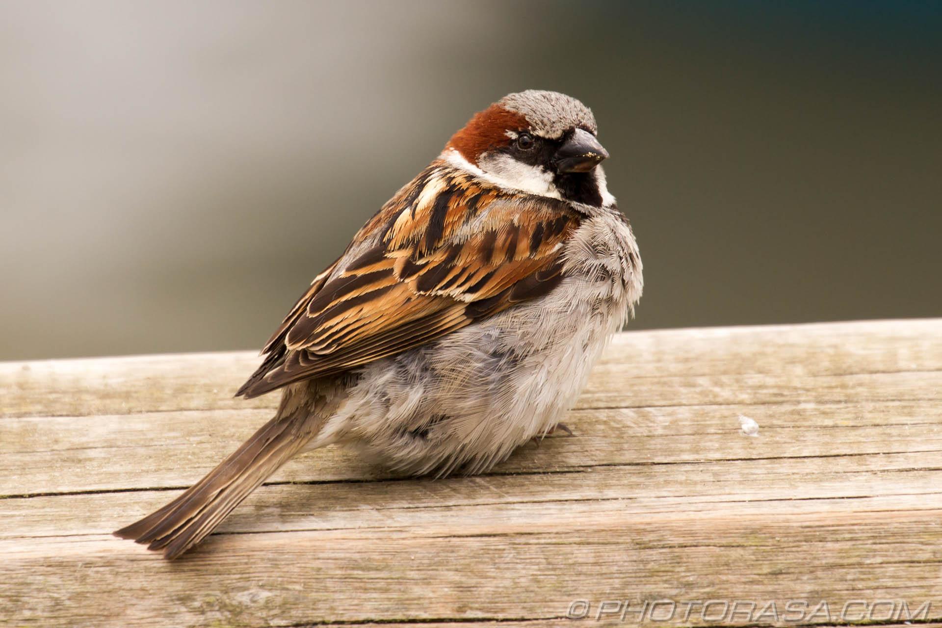 http://photorasa.com/sparrows/sparrow-by-the-sea/