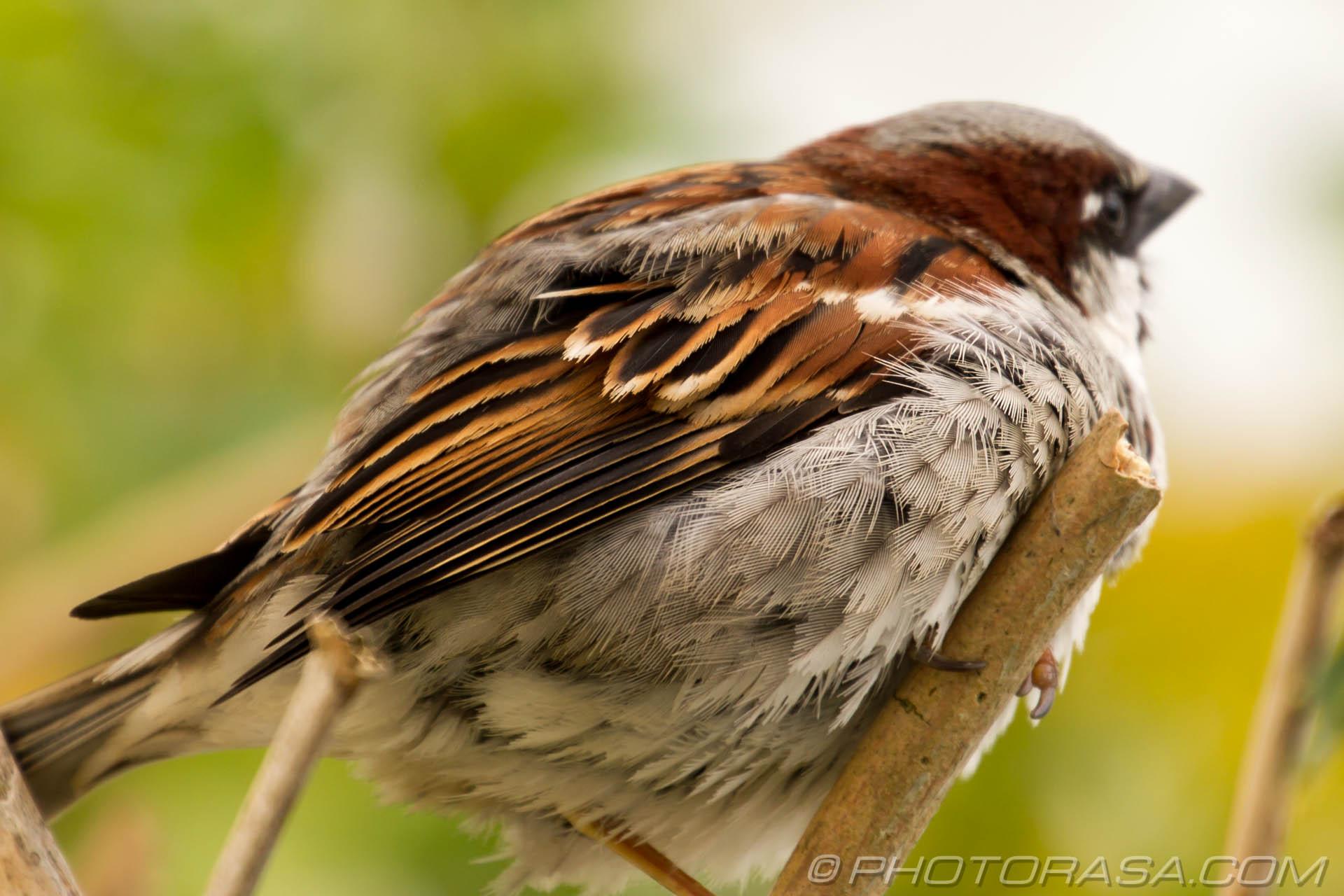 http://photorasa.com/sparrows/sparrow-feathers/