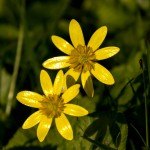 two lustrous buttercups