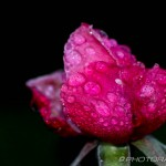 water droplets on pink rose