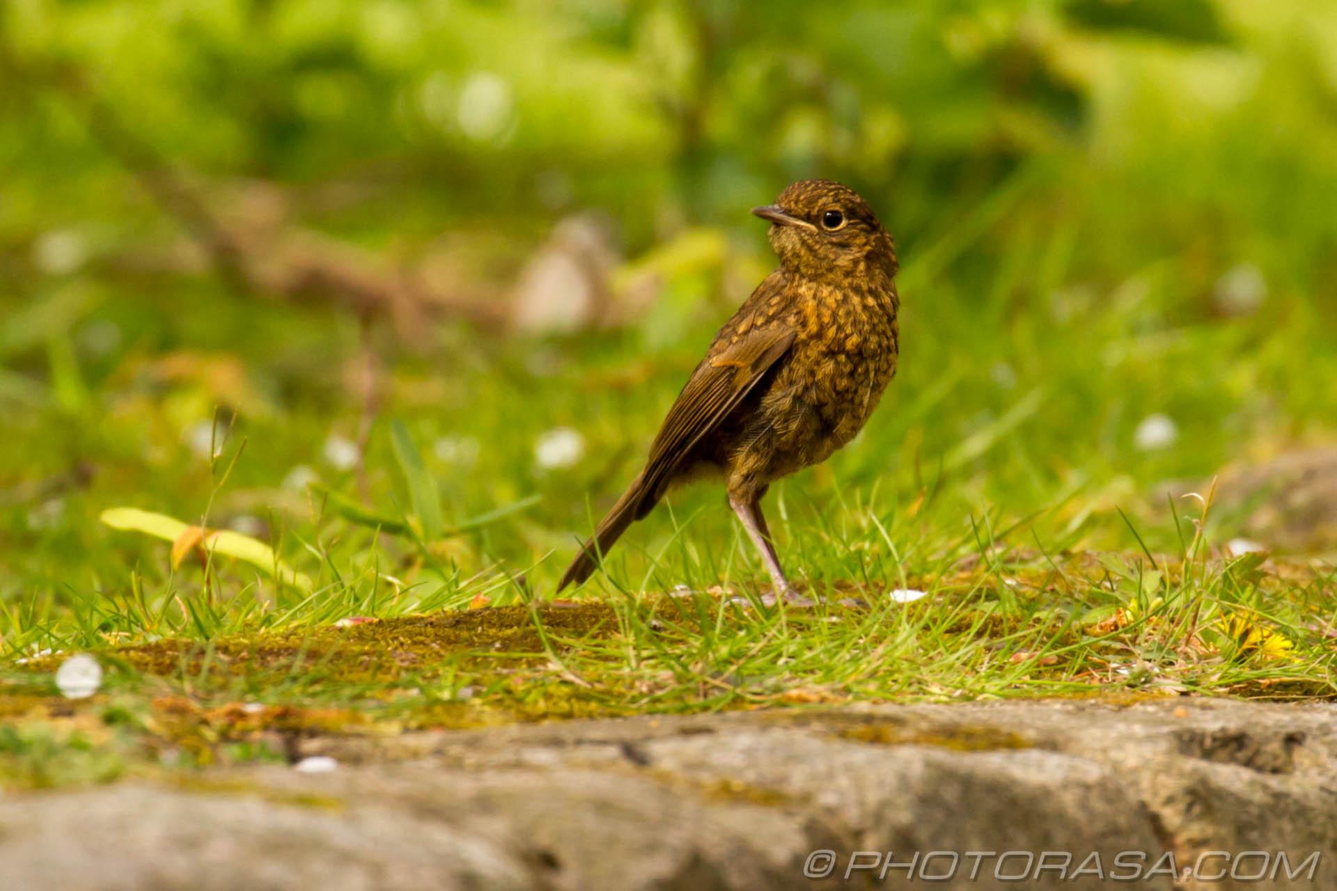 http://photorasa.com/young-robin-brown-orange/yellow-and-brown-juvenile/