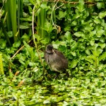 young moorhen in the greenery