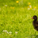 young moorhen on the grass