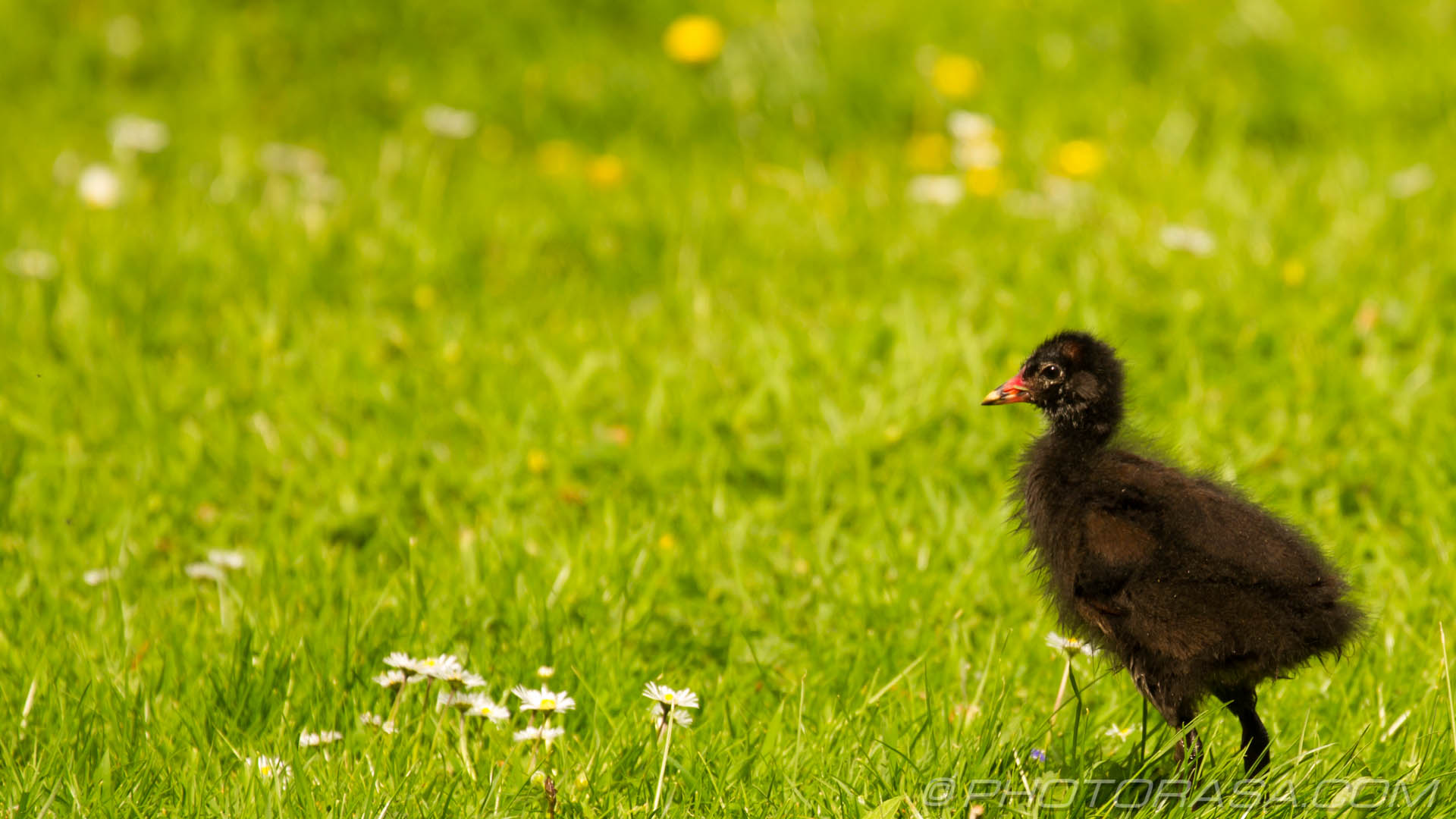 http://photorasa.com/baby-moorhens/young-moorhen-on-the-grass/