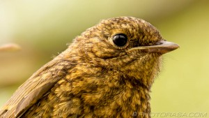 young robin feathers and eye close up