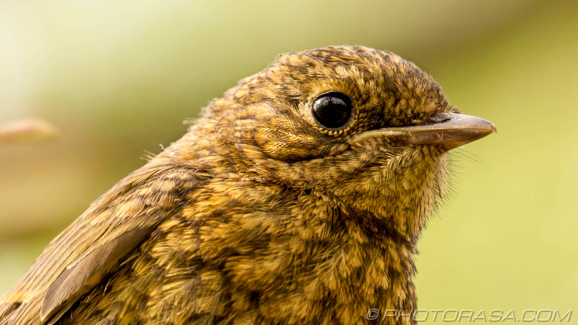http://photorasa.com/young-robin-brown-orange/young-robin-feathers-and-eye-close-up/