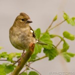 young chaffinch on branch