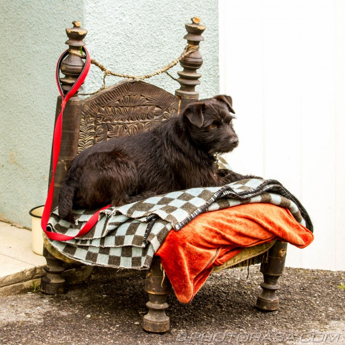 brown terrier sitting on his carved throne