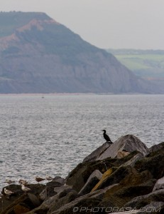 cormorant with cliffs in background
