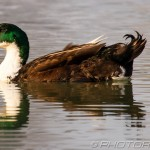 green headed mallard gadwall