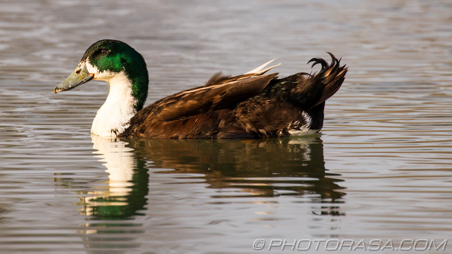 https://photorasa.com/manky-mallards/green-headed-mallard-gadwall/