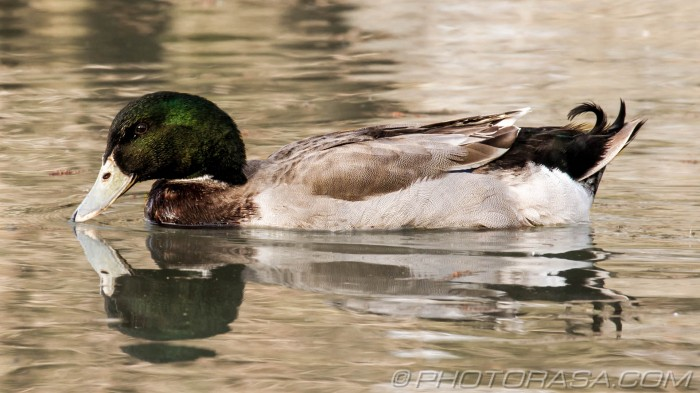 mallard gadwall with white beak
