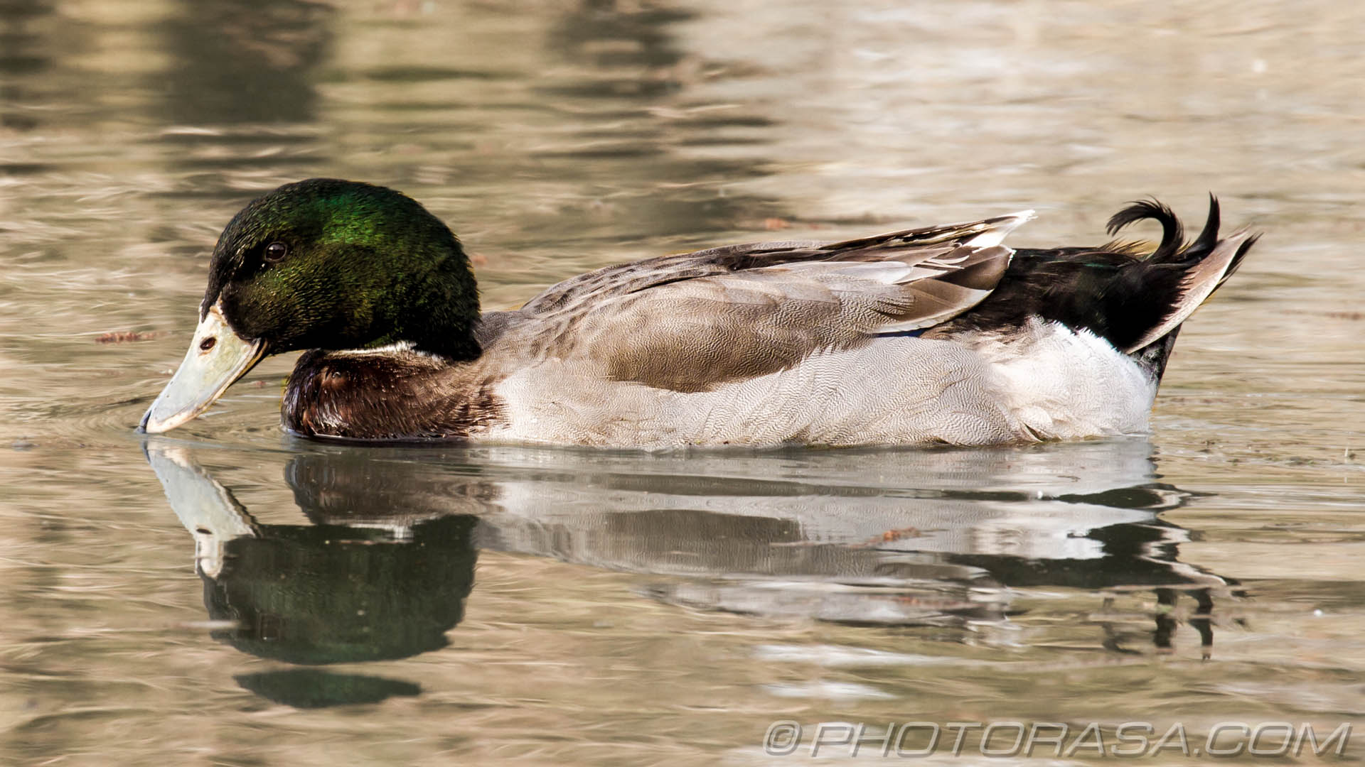 http://photorasa.com/manky-mallards/mallard-gadwall-with-white-beak/