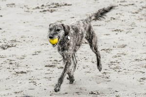 running on sand with yellow ball in mouth
