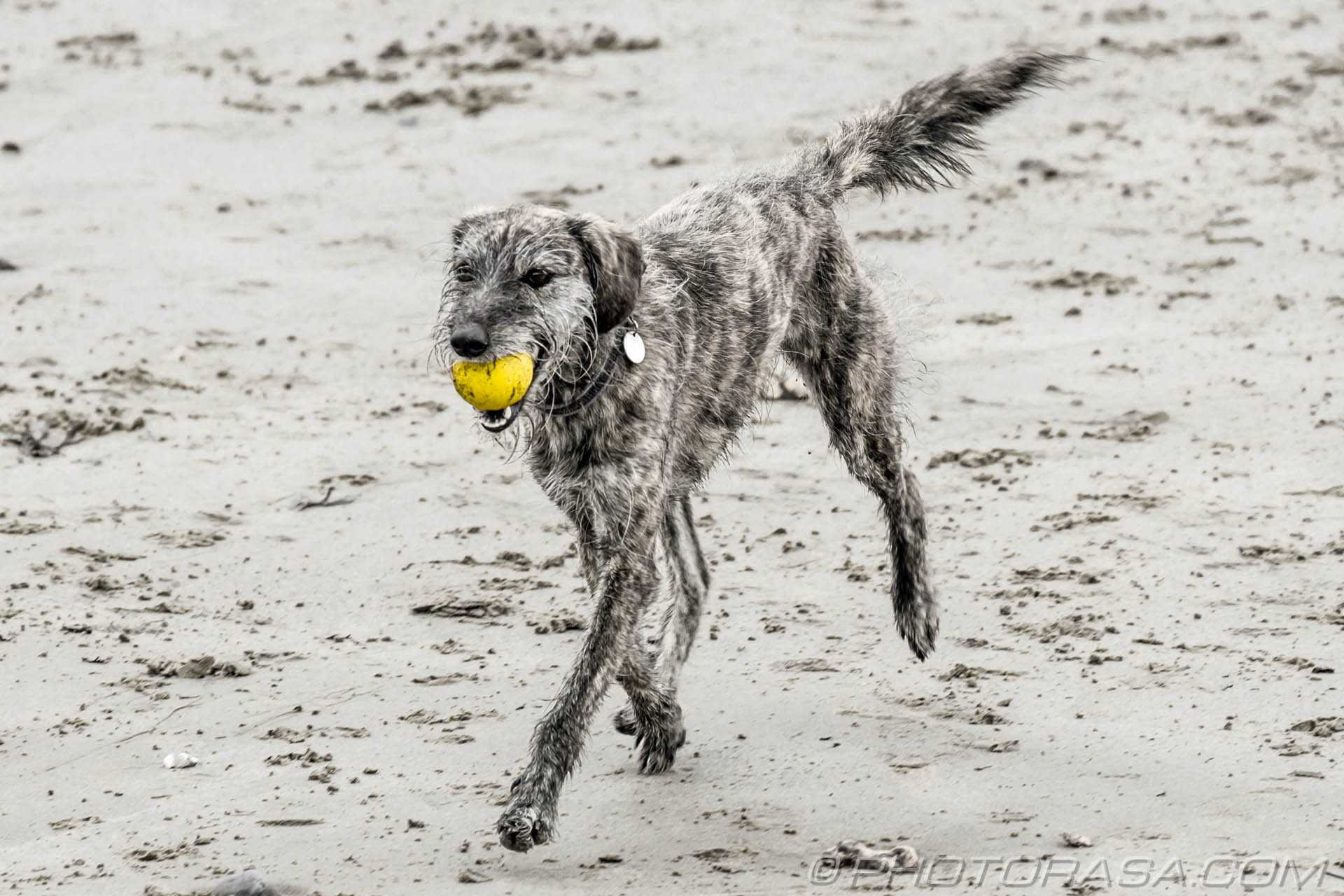 http://photorasa.com/dog-sand/running-on-sand-with-yellow-ball-in-mouth/