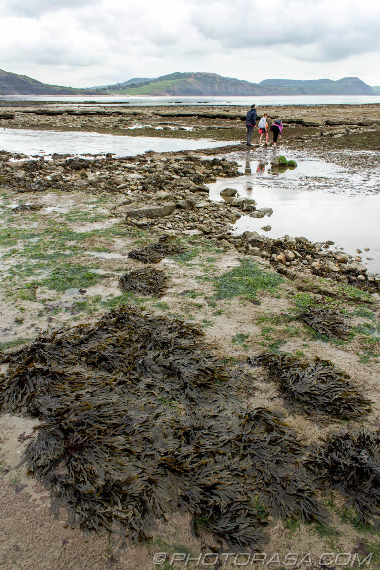 http://photorasa.com/jurassic-coast-lyme-regis/seaweed/
