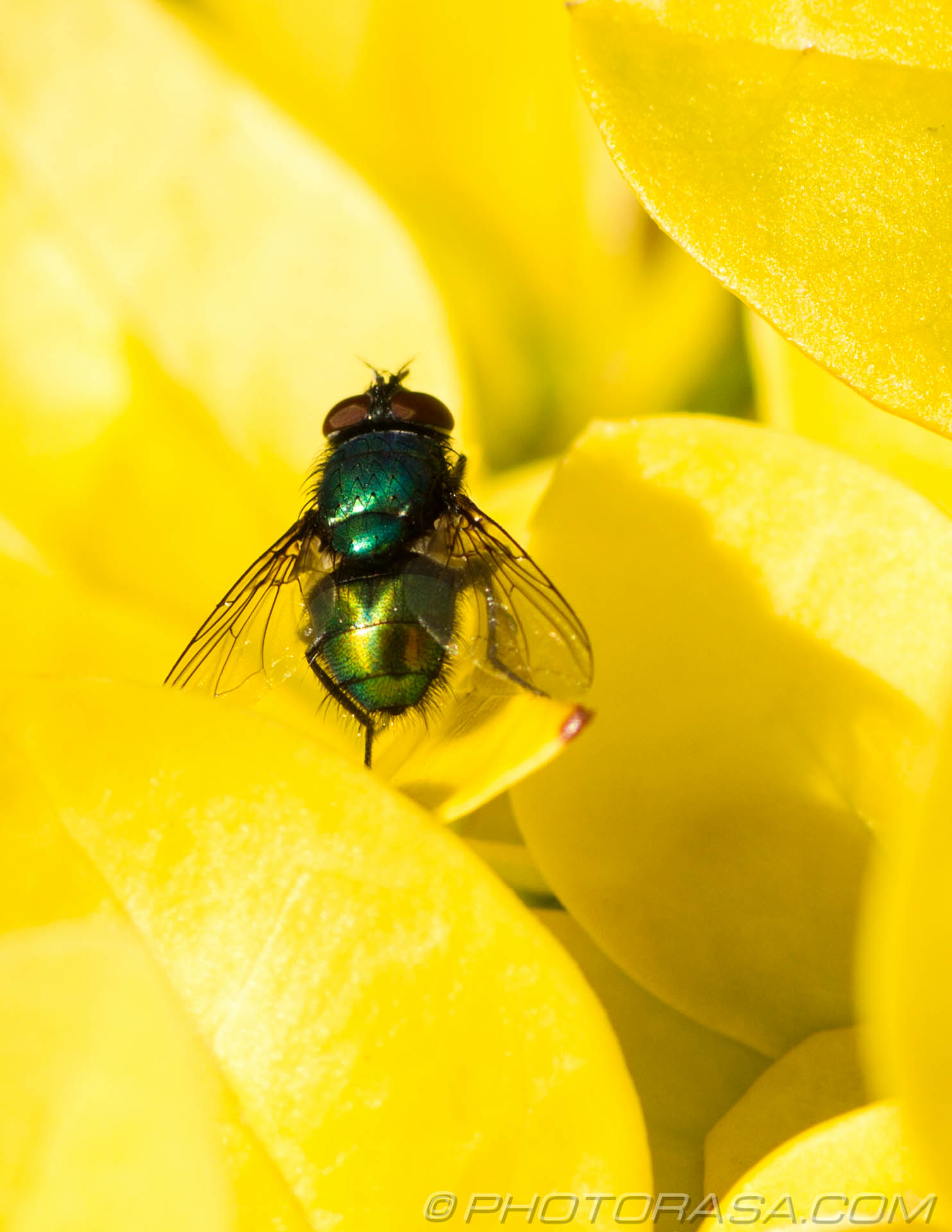 http://photorasa.com/greenbottle-fly-yellow/green-fly-on-yellow-leaves/