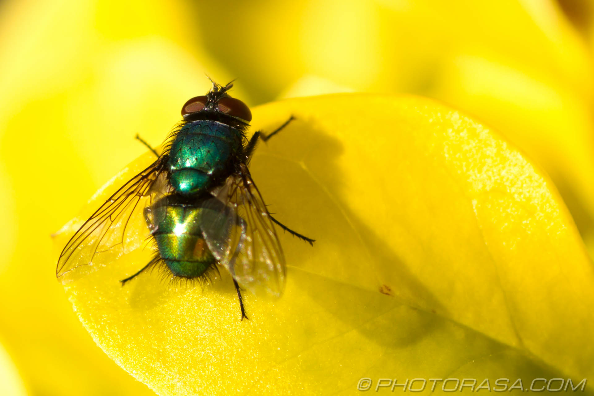 http://photorasa.com/greenbottle-fly-yellow/greenbottle-on-yellow/