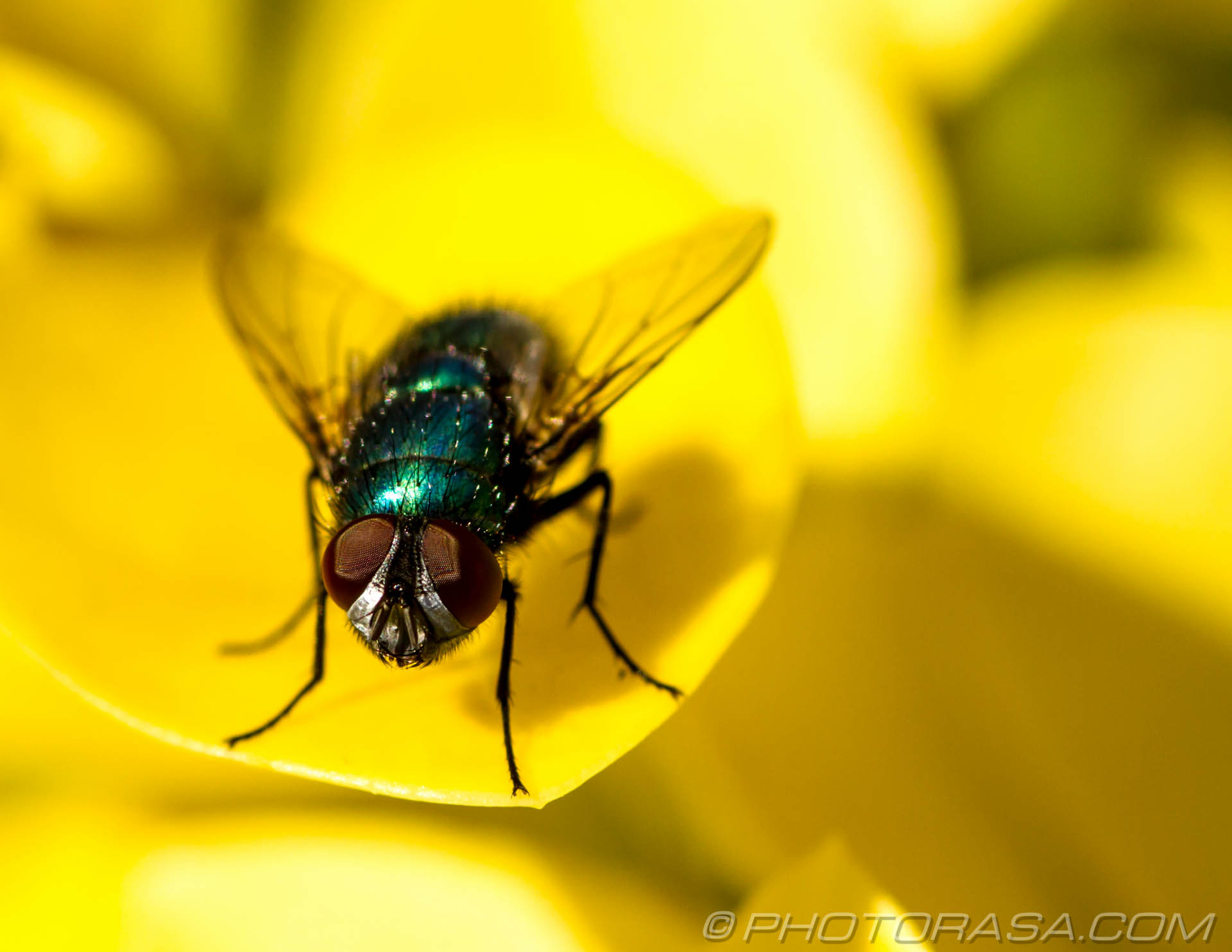 https://photorasa.com/greenbottle-fly-yellow/hairy-greenbottle-fly-eyes/