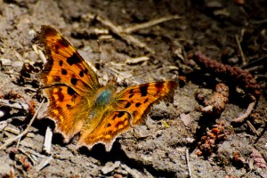 male comma butterfly