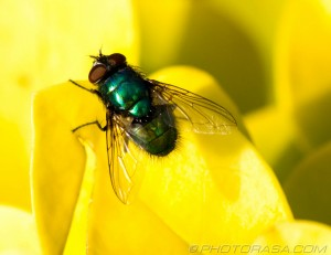 metallic green bottle fly on yellow plant