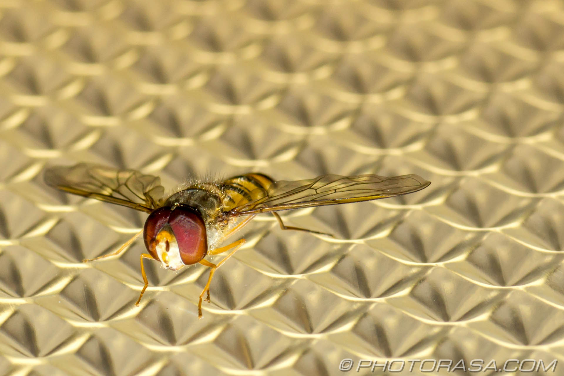 http://photorasa.com/hoverfly-light/fly-on-light-shade/