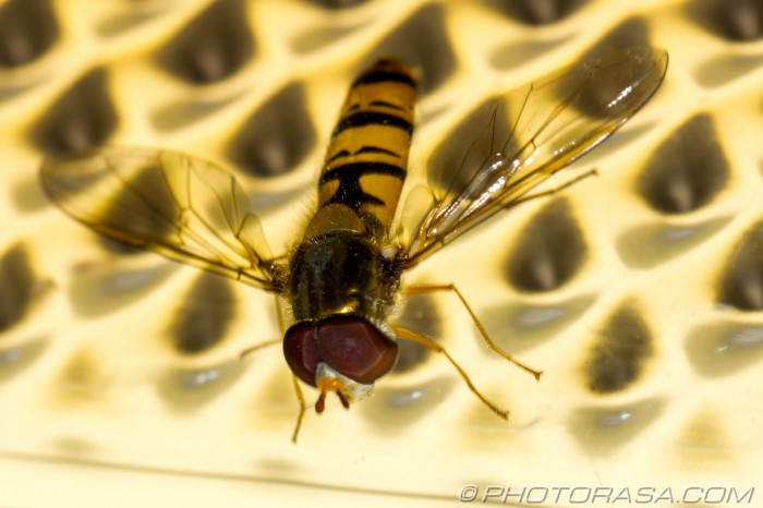 hoverfly on light