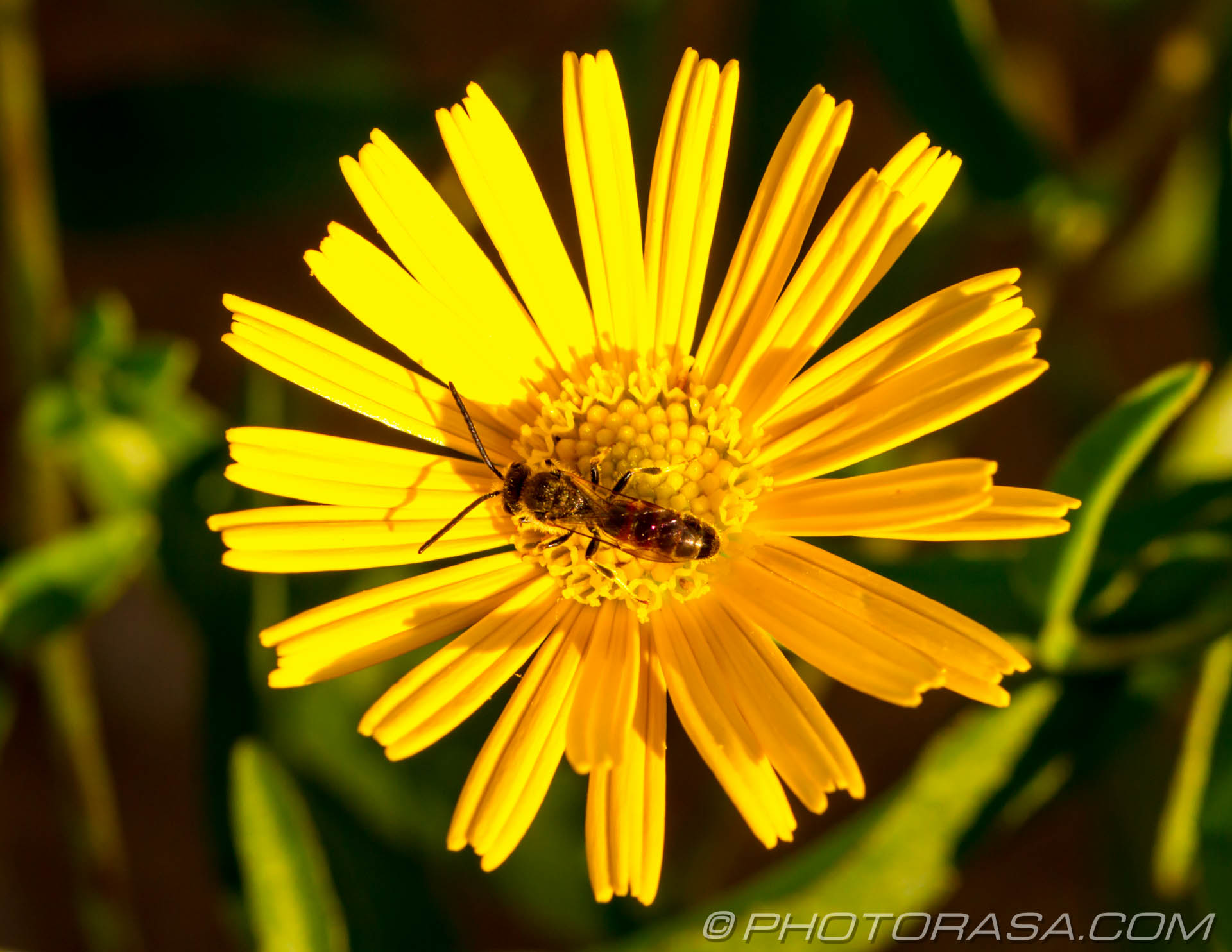 http://photorasa.com/flower-fly/hoverfly-on-yellow-flower/