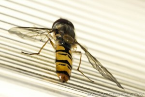 hoverfly yellow and black abdomen