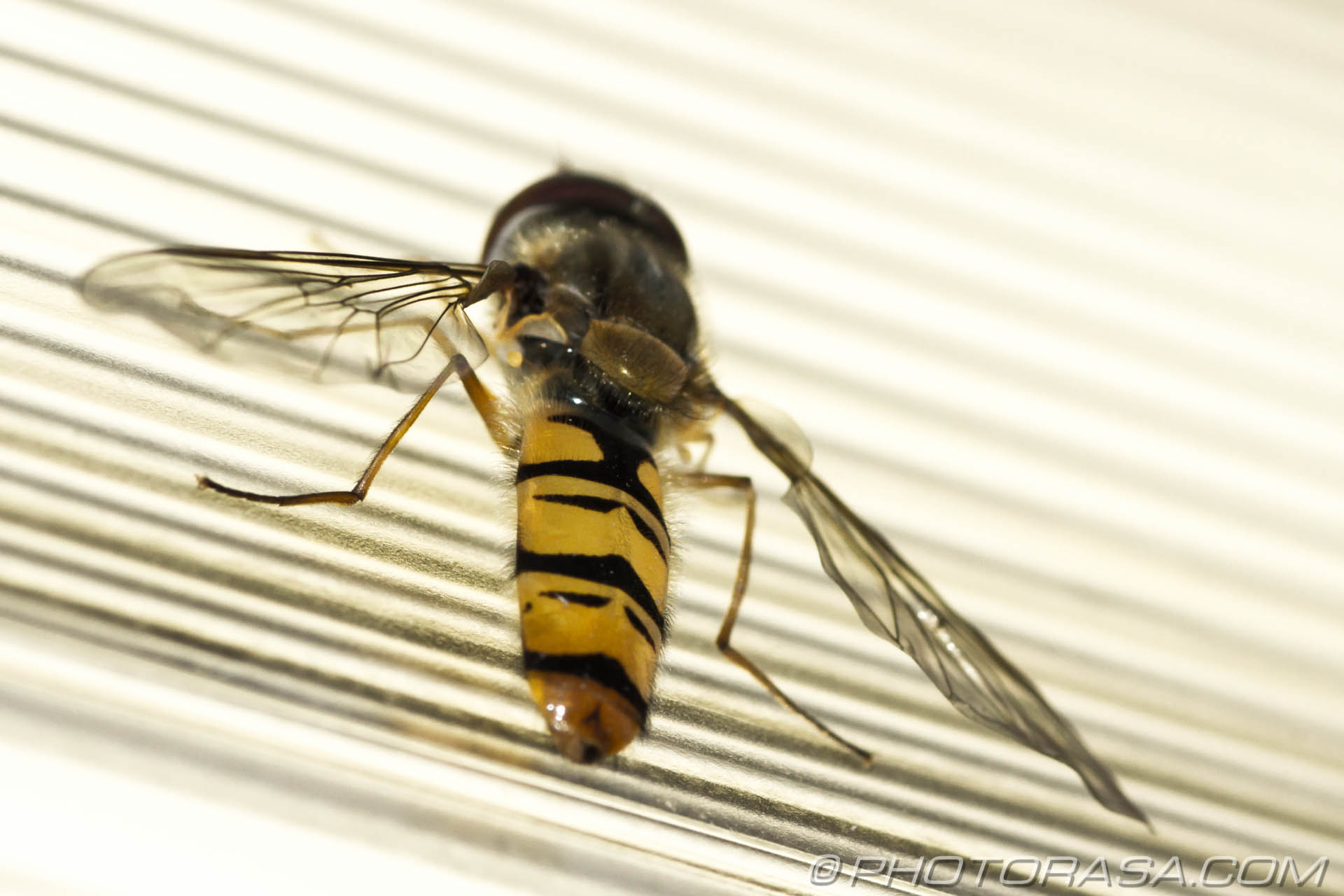 http://photorasa.com/hoverfly-light/hoverfly-yellow-and-black-abdomen/