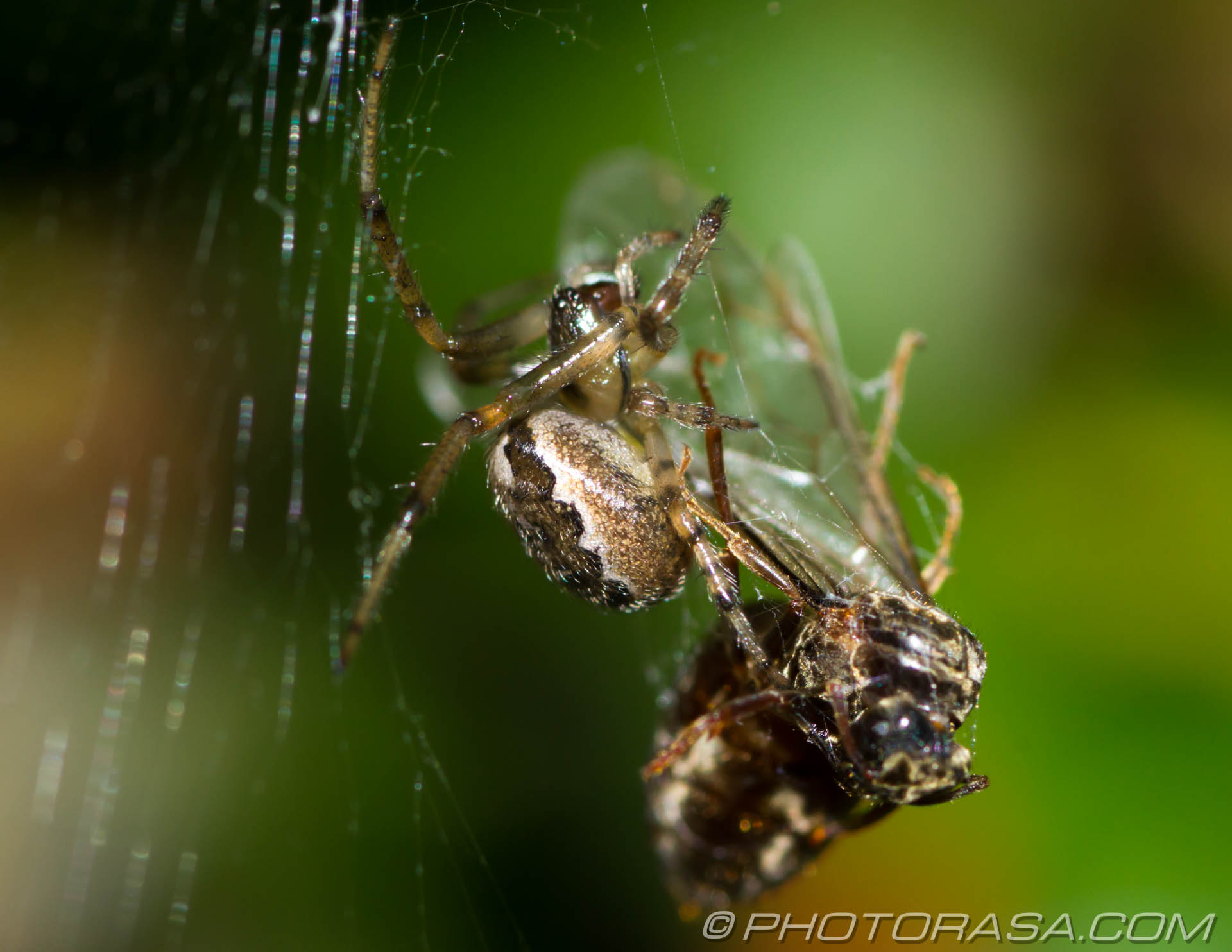 http://photorasa.com/spider-trapping-wrapping-fly/preparing-to-spin-some-gossamer/