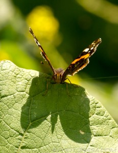 red admiral on leaf with shadow