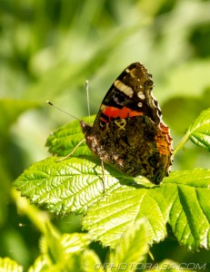red admiral perched on leaf