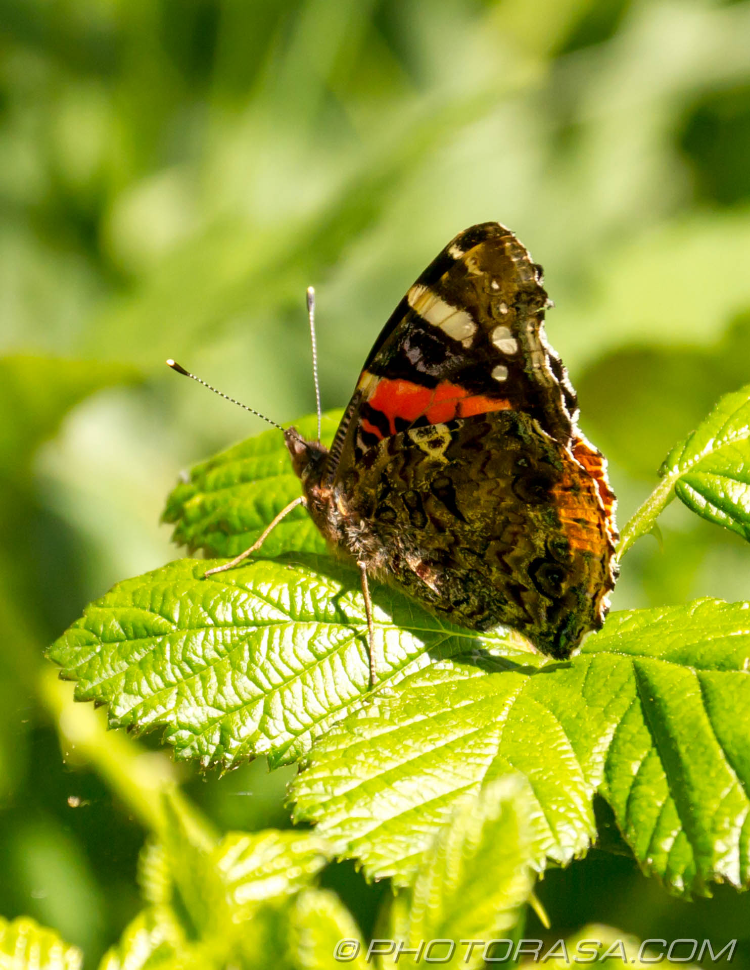 http://photorasa.com/red-admiral/red-admiral-perched-on-leaf/