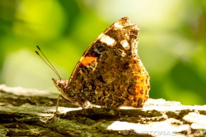 red admiral underside markings