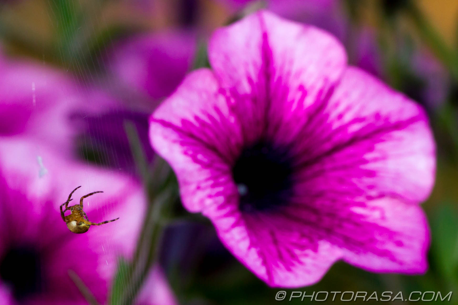 http://photorasa.com/spider-petunias/spider-and-flower/