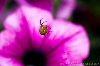 spider and petunia