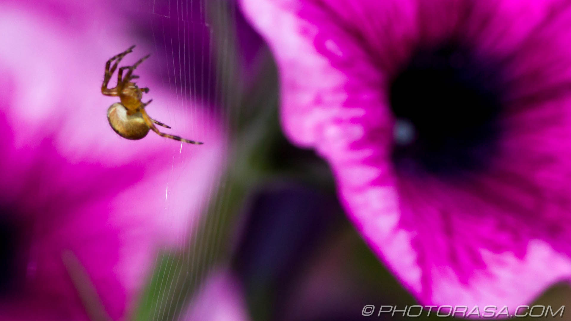 http://photorasa.com/spider-petunias/spider-in-purple-petunias/