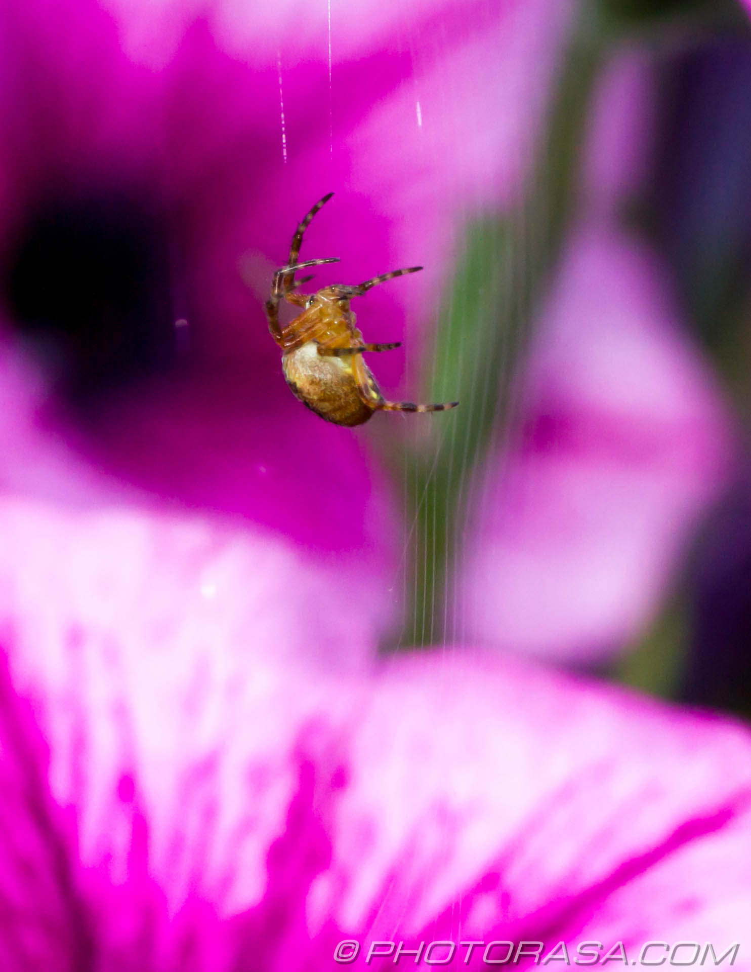 http://photorasa.com/spider-petunias/spider-making-web-in-petunias/