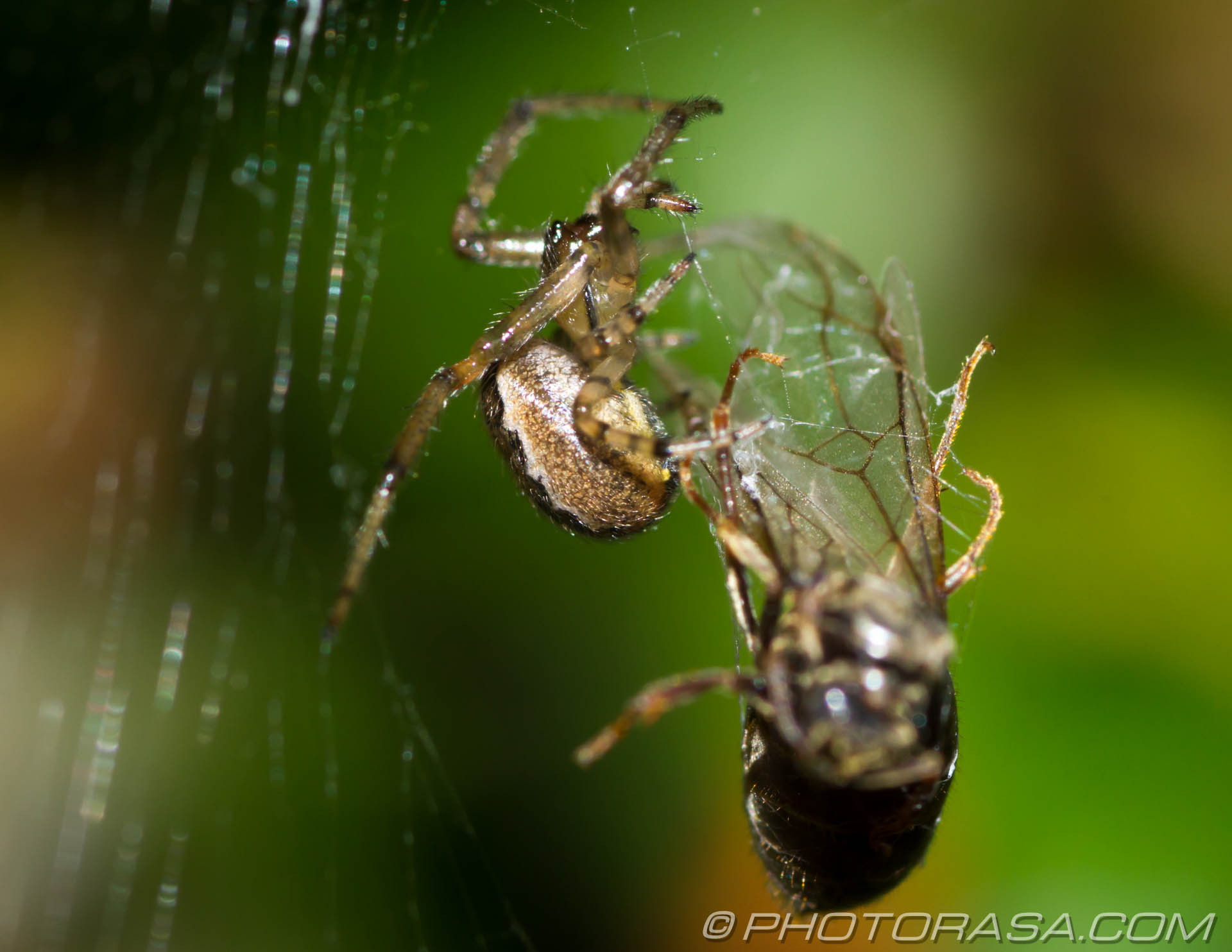 http://photorasa.com/spider-trapping-wrapping-fly/spinning-with-the-legs/