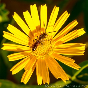 sunny flower and hoverfly