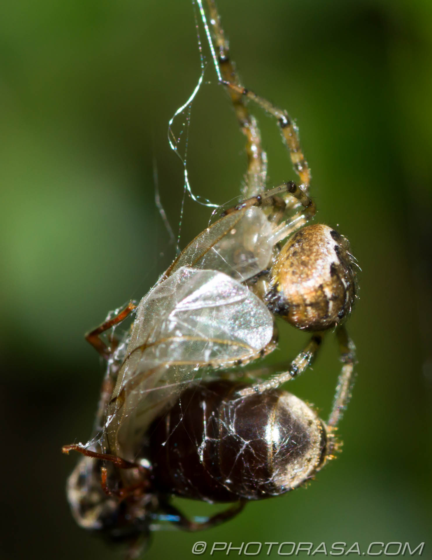 http://photorasa.com/spider-trapping-wrapping-fly/taking-her-prey-back-to-the-lair/