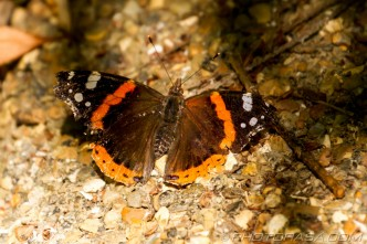 tatty red admiral in dappled light