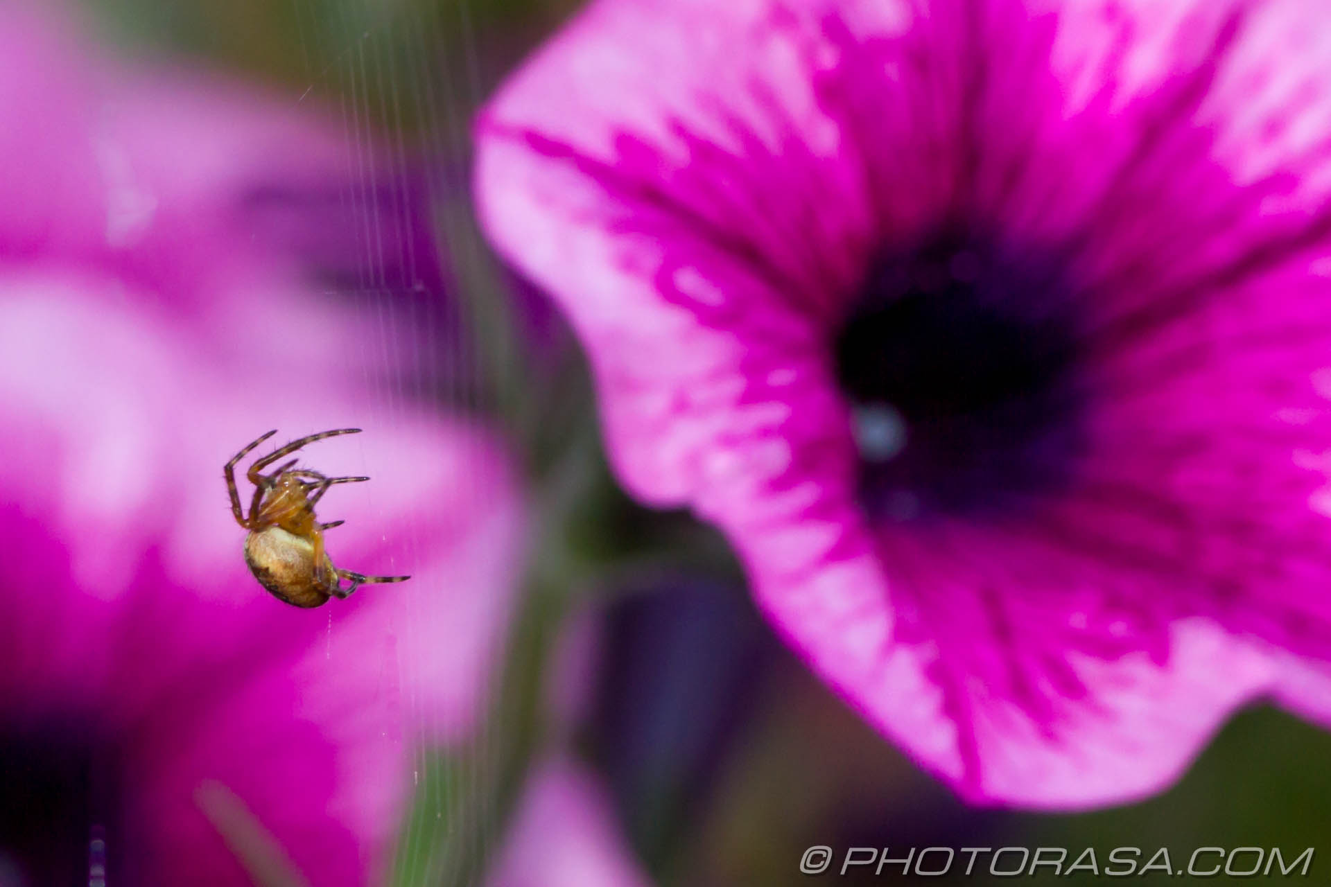http://photorasa.com/spider-petunias/waiting-for-lunch/