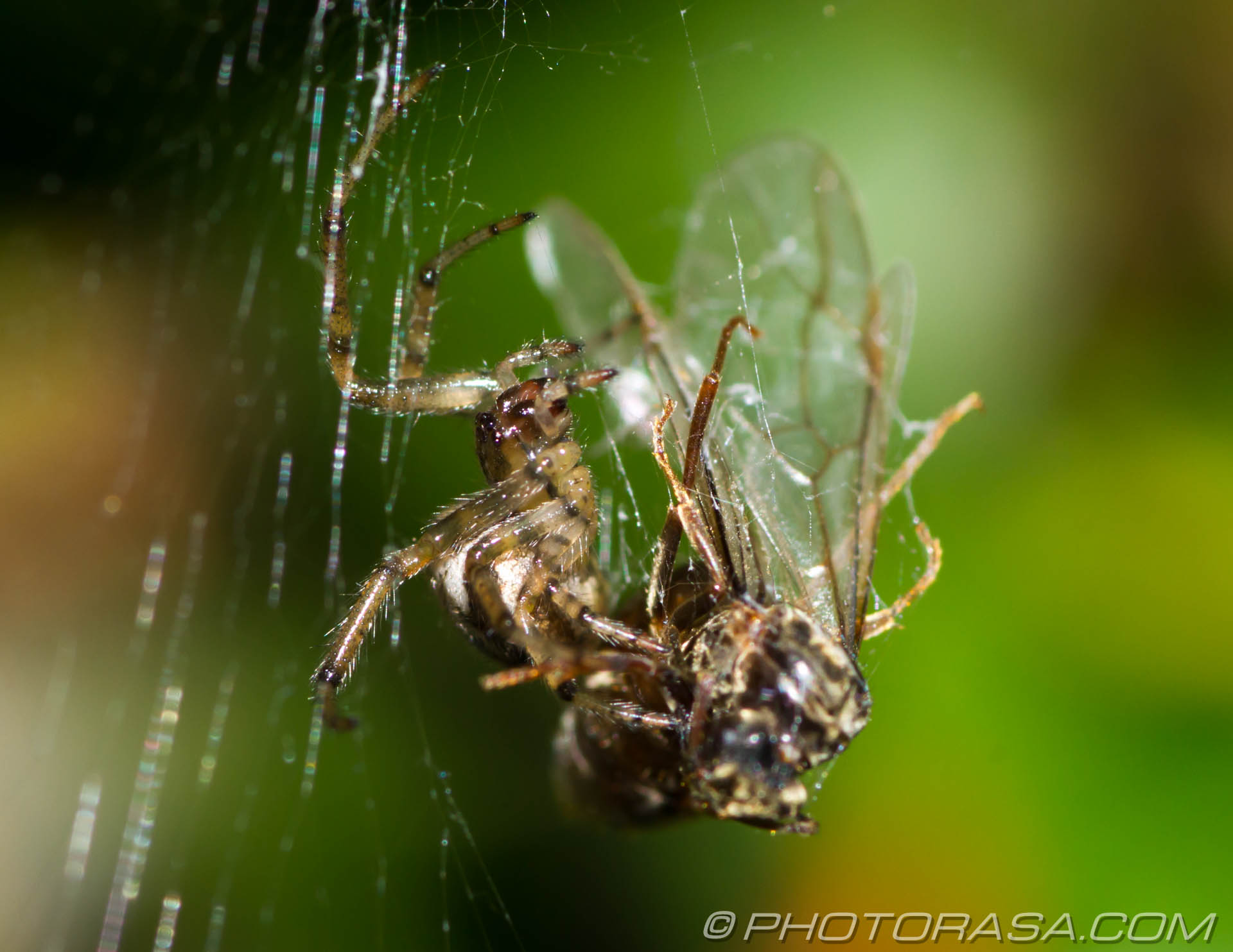http://photorasa.com/spider-trapping-wrapping-fly/walking-across/