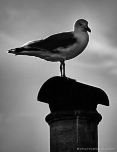 backlit seagull