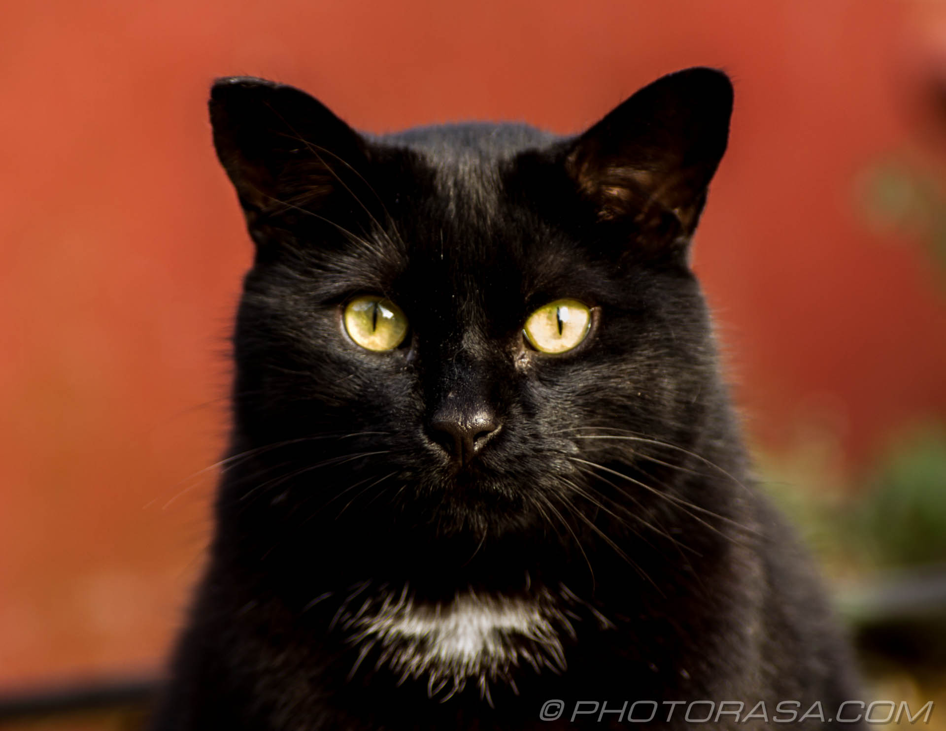 http://photorasa.com/black-cats/black-cat-with-white-chest/