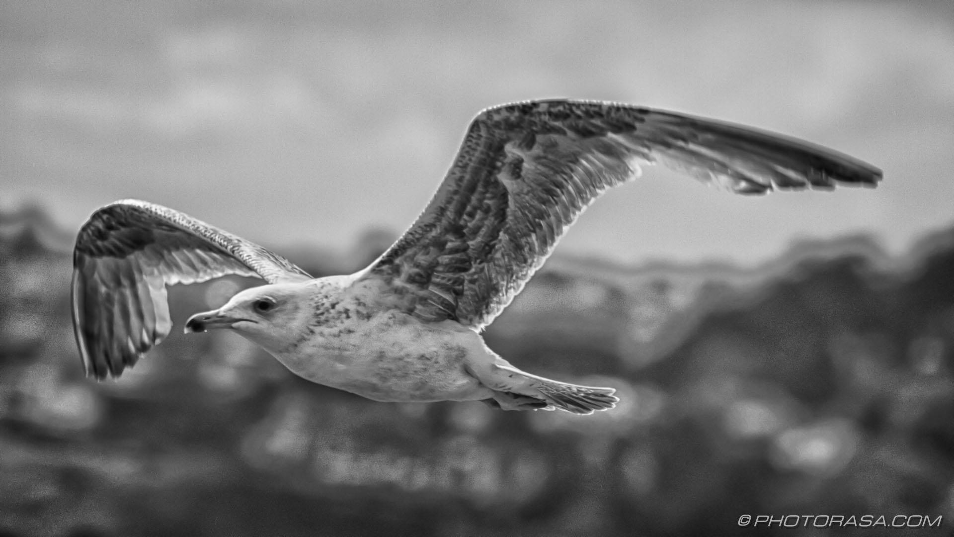 https://photorasa.com/seagulls/dark-bird/