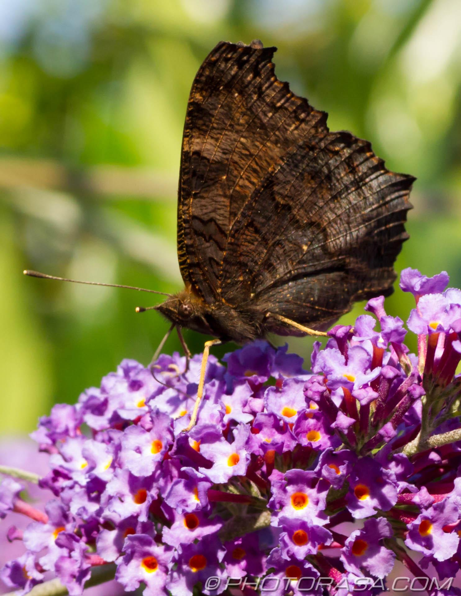 https://photorasa.com/peacock-butterfly/dark-peacock-underside/